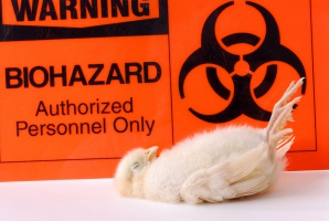 Zutylizowano ok. 30 tysięcy sztuk drobiu po stwierdzeniu kolejnych ognisk ptasiej grypy