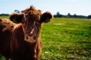 Producenci żywca wołowego powinni się jednoczyć