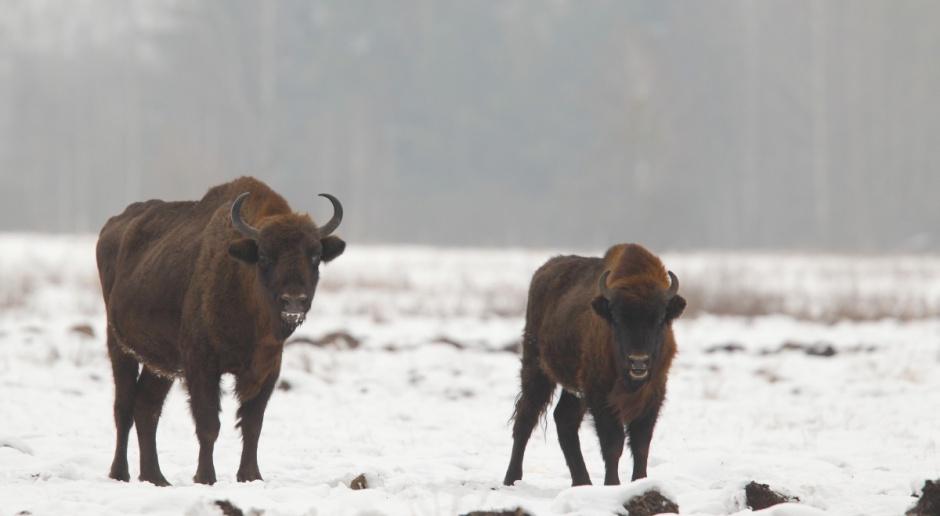 GDOŚ wydał zgodę na odstrzał do 20 żubrów na Podlasiu
