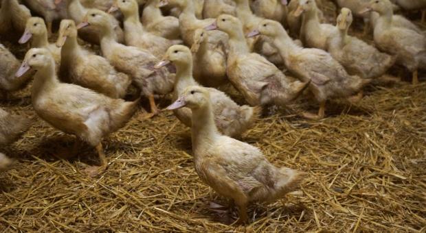 Chów kaczek pekin - od czego zacząć?