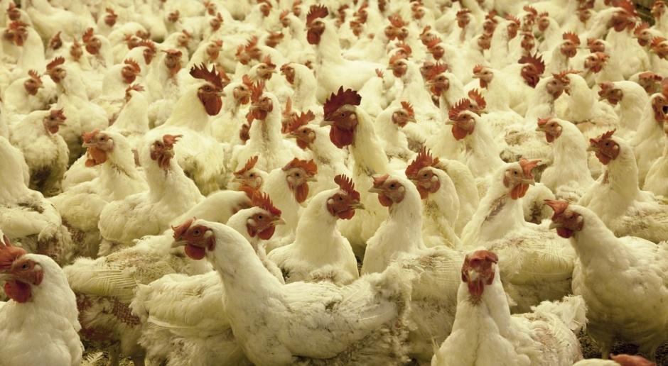 Eksport polskiego drobiu do Chin zagrożony? Branża uspokaja