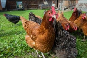 Hodowcy drobiu, którzy nie przestrzegają zasad bioasekuracji, nie dostaną odszkodowania