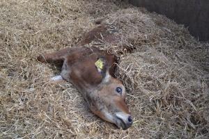 Rokowania dla krowy, która zalega w pozycji bocznej z wyciągniętymi nogami, nie są najlepsze