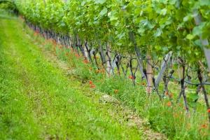 Zbliża się termin złożenia deklaracji przez producentów win