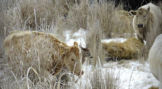165 krów i on jeden – nieustraszony jelonek i historia pewnej przyjaźni