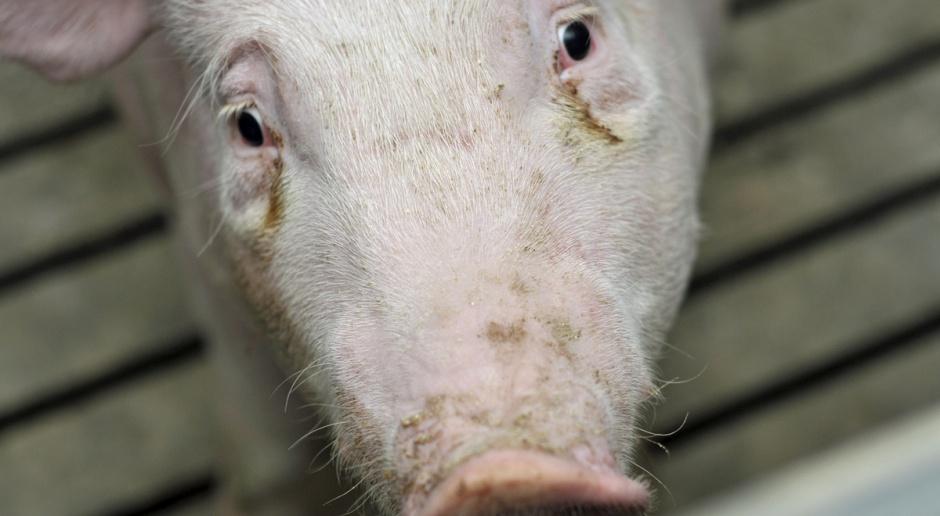 Ile kosztuje utylizacja świni?