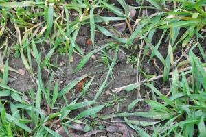 Wiosenne odchwaszczanie pszenżyta ozimego