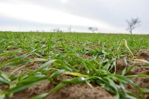 Kiedy rozpocząć ochronę zbóż po zimie?