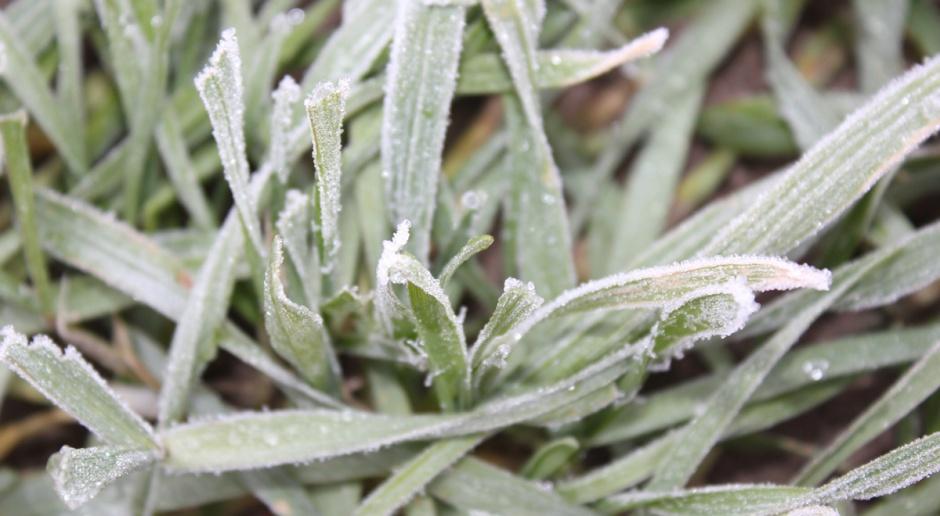 Silne mrozy – rolnicy obawiają się o oziminy