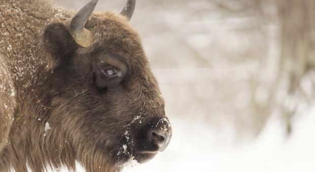 Lasy Państwowe: Kontrola odstrzału żubrów w Puszczy Boreckiej