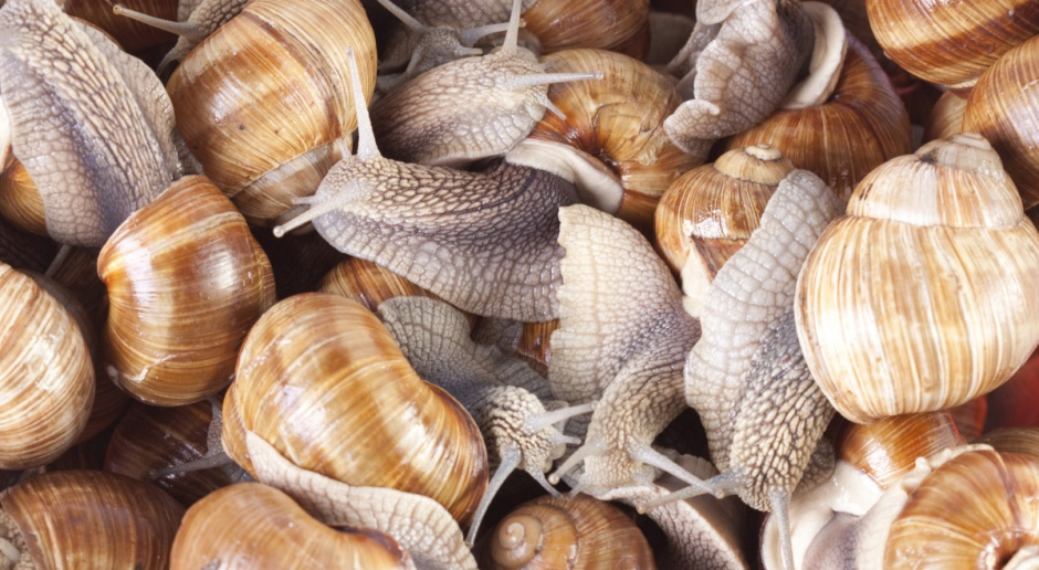 Warmińsko-mazurskie: W tym roku nie będzie zbioru ślimaków winniczków