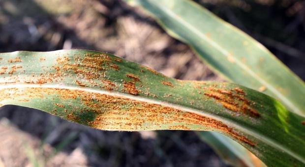 12 fungicydów nalistnych do ochrony kukurydzy