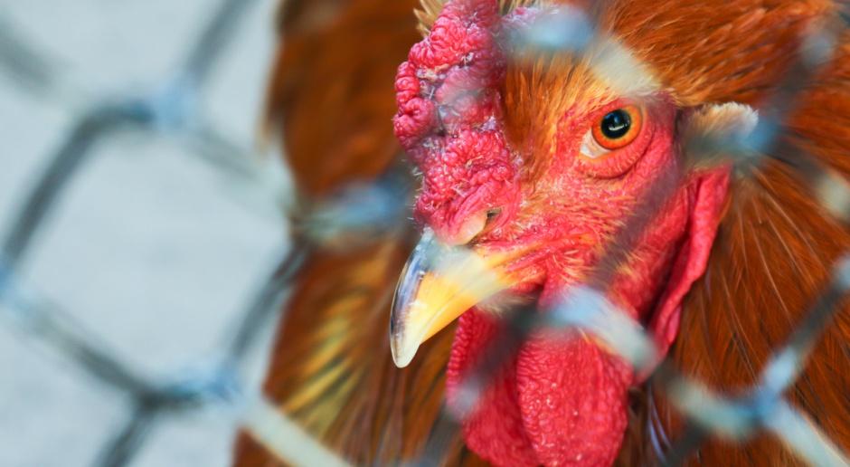 10 ognisk ptasiej grypy w powiecie kaliskim, wybito 220 tys. sztuk drobiu