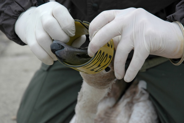 Rosja z powodu ptasiej grypy zakazała wwozu drobiu z dwu województw Polski