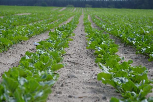 Ukraina: Wysoki wzrost produkcji cukru