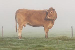 Zatrzymano podejrzanych o kradzież bydła w zachodniopomorskim