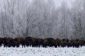 Park narodowy i nadleśnictwa liczą białowieskie żubry