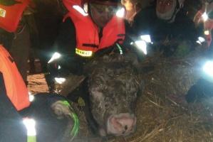 Nietypowa akcja strażaków, wyciągali byki ze stawu