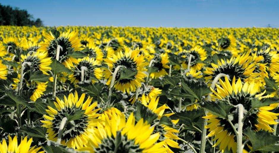 Ukraina: Wzrost eksportu oleju słonecznikowego
