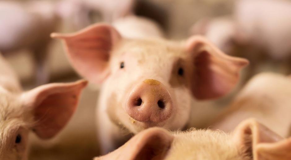 Pomoc po ASF czy ograniczanie produkcji trzody chlewnej?