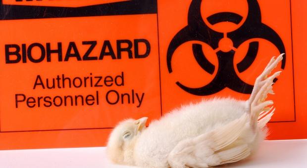 Rozpoczęto gazowanie 65 tys. kur chorych na ptasią grypę