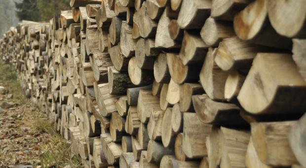 Radom: Leśnicy sprzedali najcenniejsze drewno