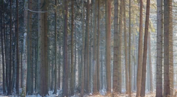 W 2016 r. w Nadleśnictwie Białowieża wycięto blisko 7,5 tys. drzew