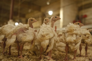 Warmińsko-mazurskie: Wykryto pierwsze w regionie ognisko ptasiej grypy