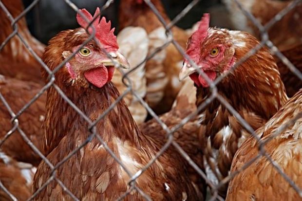 Będzie pomoc w związku z ptasią grypą - od 4 do 25 zł za sztukę drobiu