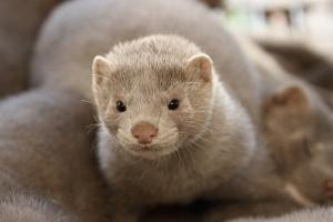 PZHZF: Spełniamy wszystkie przepisy prawa dotyczące dobrostanu zwierząt