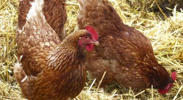 Resort rolnictwa: Rekompensaty dla rolników poszkodowanych grypą ptaków