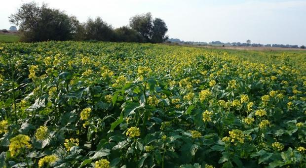 Gorczyca biała: Uprawa na nasiona
