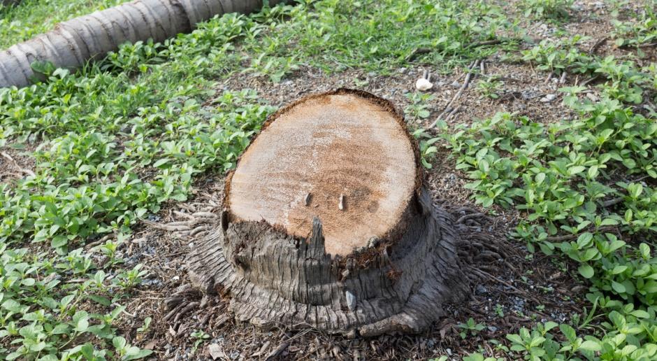 MŚ: Wytniesz drzewo bez zezwolenia