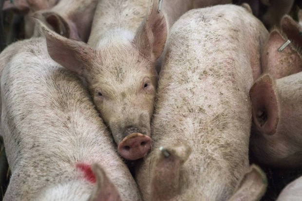 UE: Ceny świń rzeźnych w górę