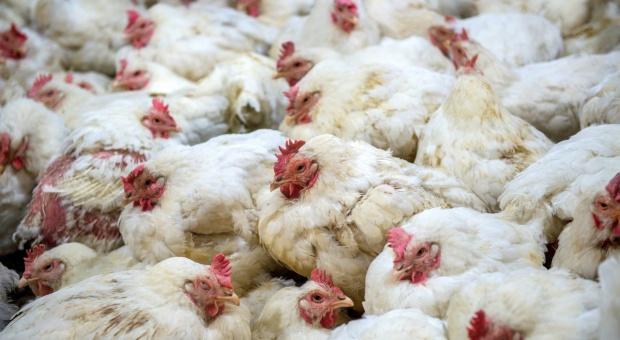 Rosja zapowiada zakaz wwozu produktów drobiowych i karm m.in. z Polski