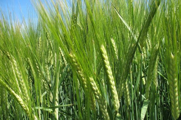 Najczęściej wybierane odmiany zbóż jarych Danko
