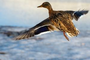 GLW: grypa ptaków u dzikiej kaczki znalezionej w stołecznym ZOO