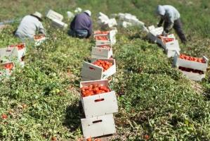 Włoskie pomidory na cenzurowanym