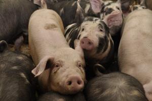 Ceny świń spadają