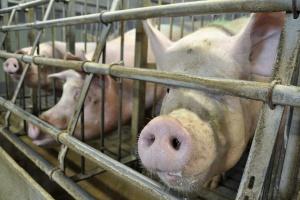 UE: 165 mln euro na zwalczanie chorób zwierząt