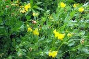 Nowe odmiany bobowatych drobnonasiennych w Krajowym Rejestrze
