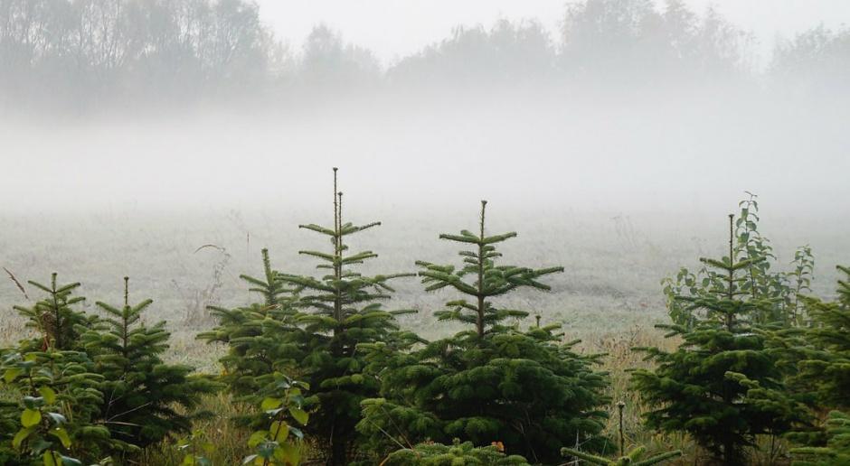 Kowalczyk: Leśnicy sadzą rocznie 500 mln drzew
