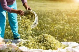 Podstawowe wskazówki agrotechniczne uprawy ziół