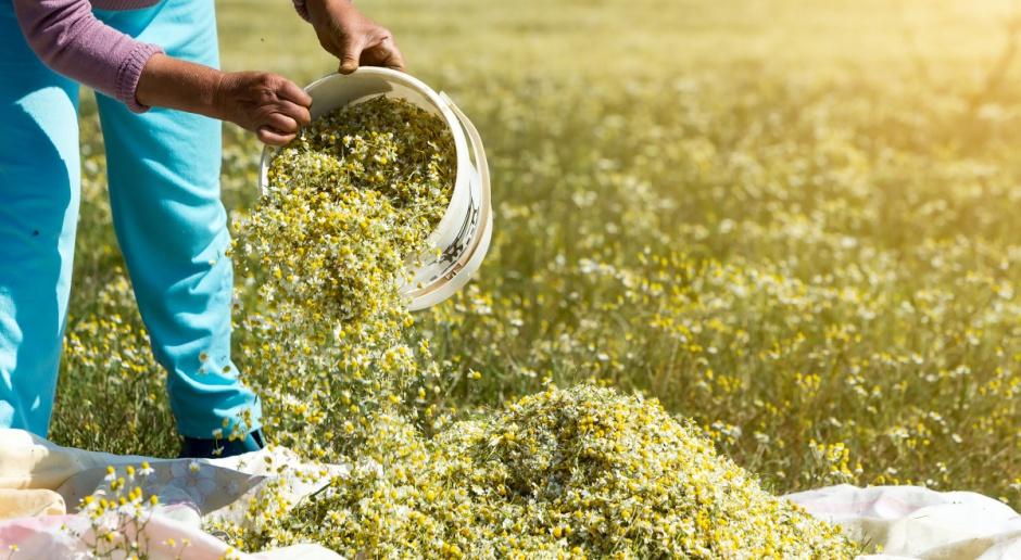 Uprawa ziół jest bardziej opłacalna niż uprawa żyta czy pszenżyta