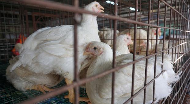 Niemczuk: nadal nie wiadomo skąd w Polsce grypa ptaków