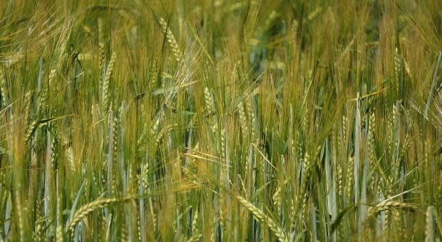 Odmiany zbóż jarych HR Strzelce