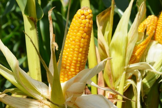 Plonowanie wczesnych odmian kukurydzy uprawianej na ziarno