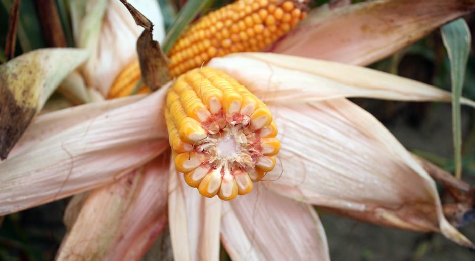 Kukurydza: 24 nowe odmiany w KR