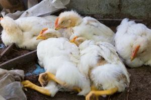 Lubuskie: Na finiszu walka z epidemią ptasiej grypy