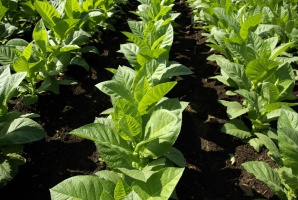 Rośnie produkcja tytoniu na świecie, spada za to w UE, w tym w Polsce